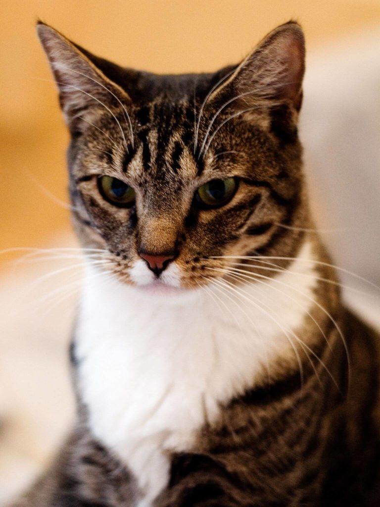 nombre de gato American Shorthair