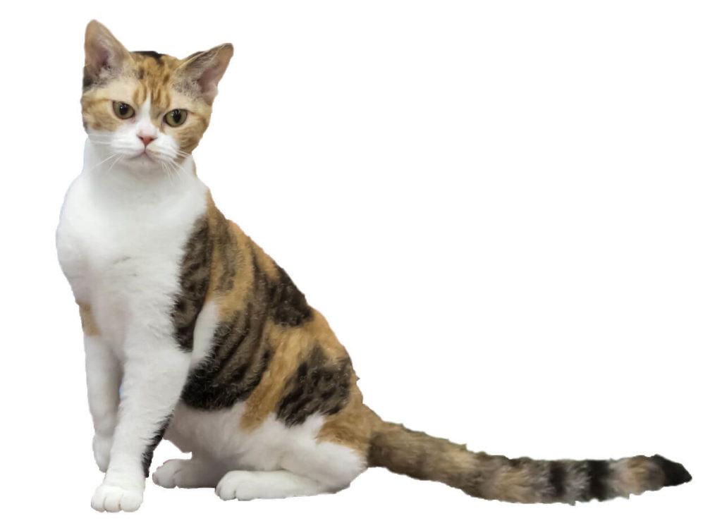 nombre de gato American Wirehair