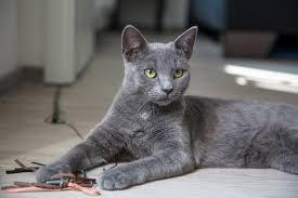 nombre de gato Azul Ruso