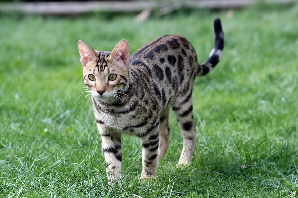 nombre de gato Bengalí