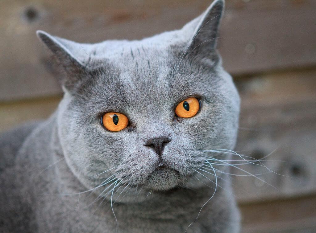 nombre de gato British Shorthair