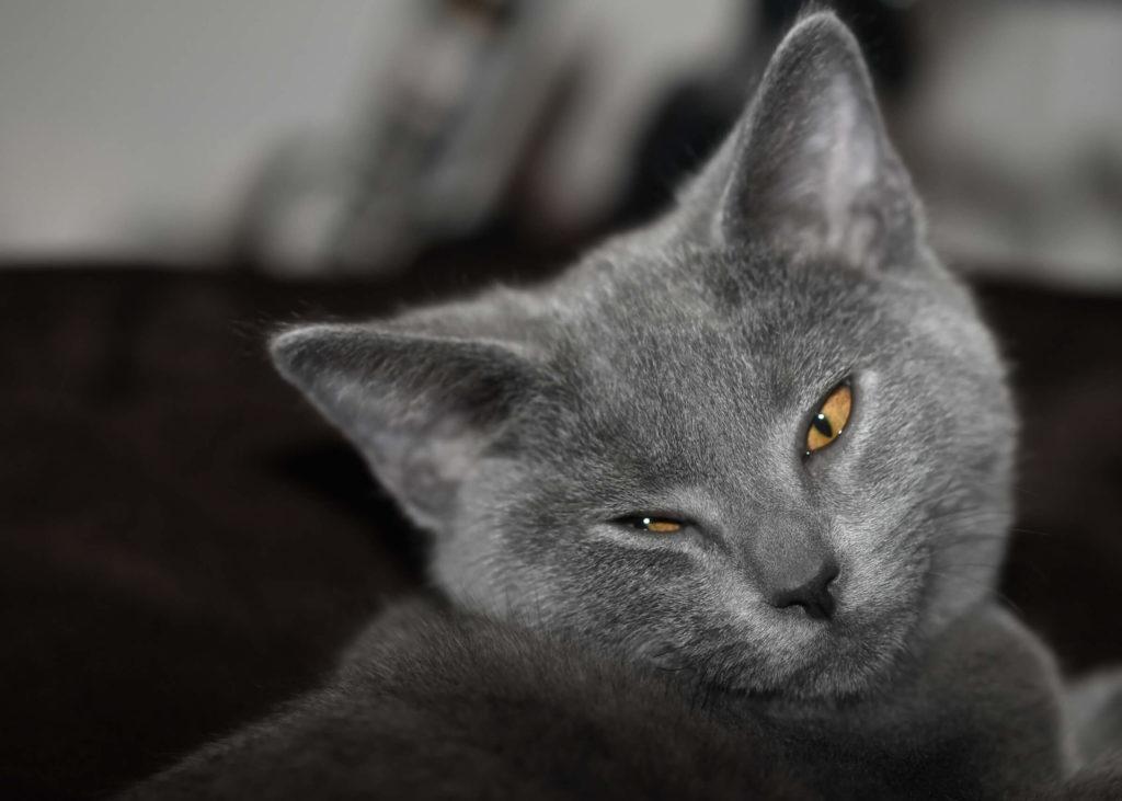 nombre de gato Chartreux