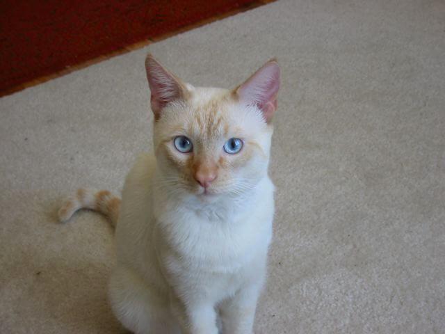nombre de gato Colorpoint Shorthair
