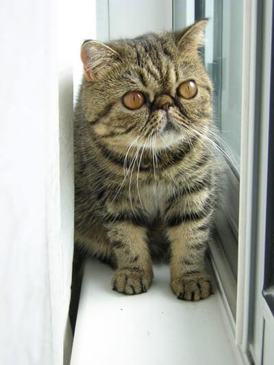 nombre de gato Exótico