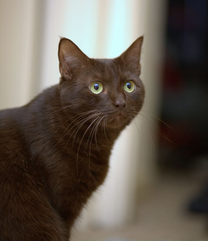 nombre de gato Havana Brown