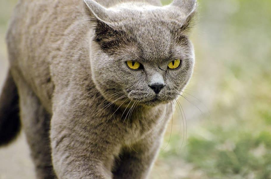 nombre de gato Korat