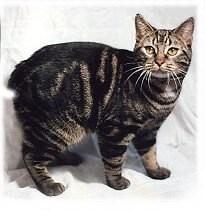 nombre de gato Manx
