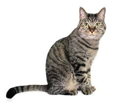 nombre de gato Mau Egipcio