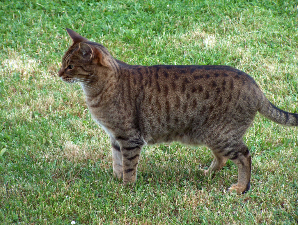 nombre de gato Ocicat