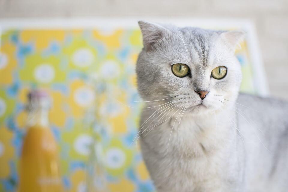 nombre de gato Scottish Fold