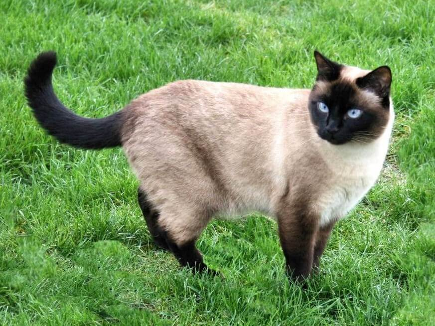 nombre de gato Siamés