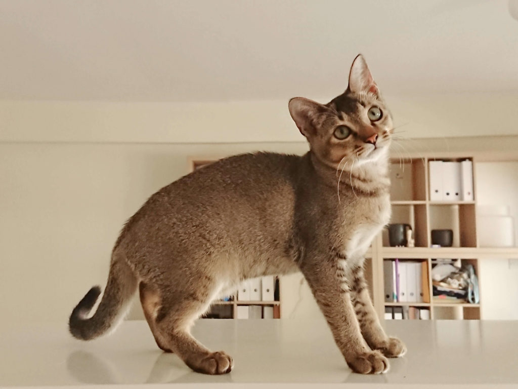 nombre de gato Singapura
