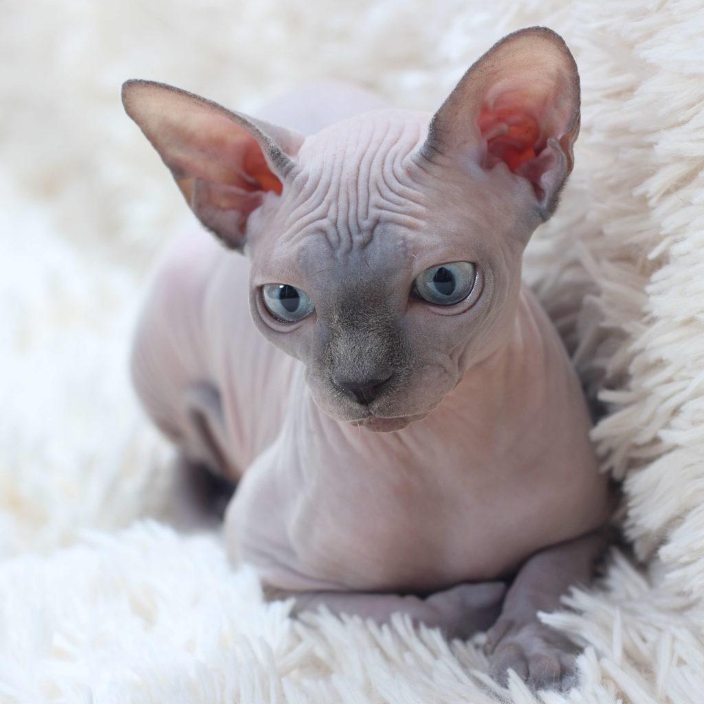 nombre de gato Sphynx