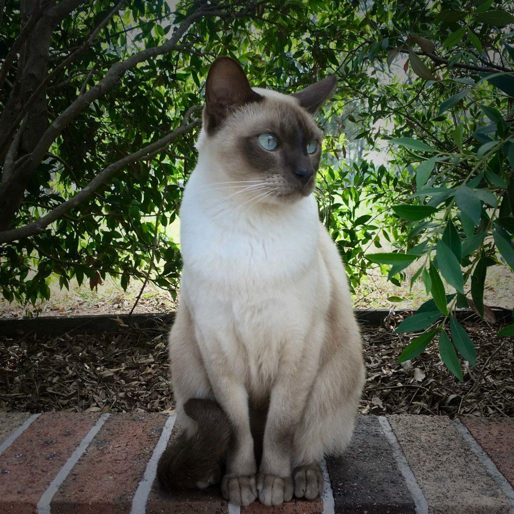 nombre de gato Tonkinés