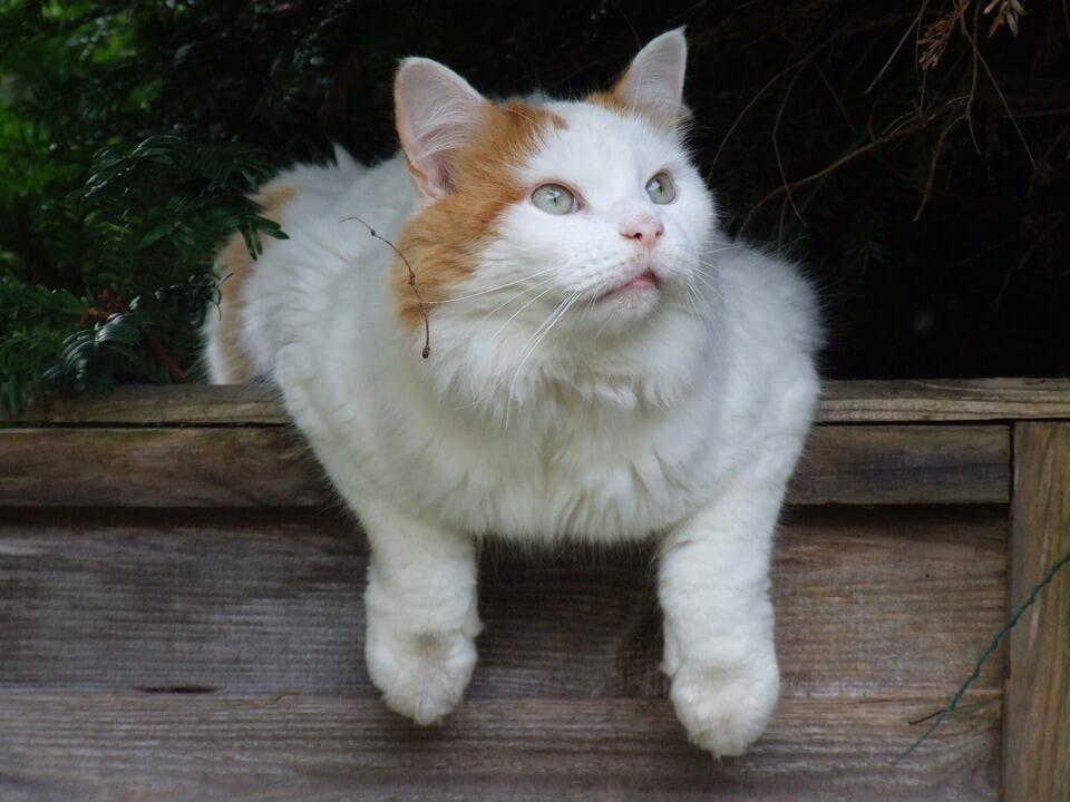 nombre de gato Turkish Van