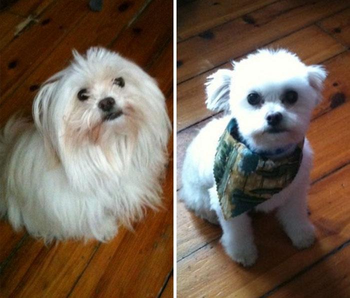 foto antes y después peluquería de perros 10