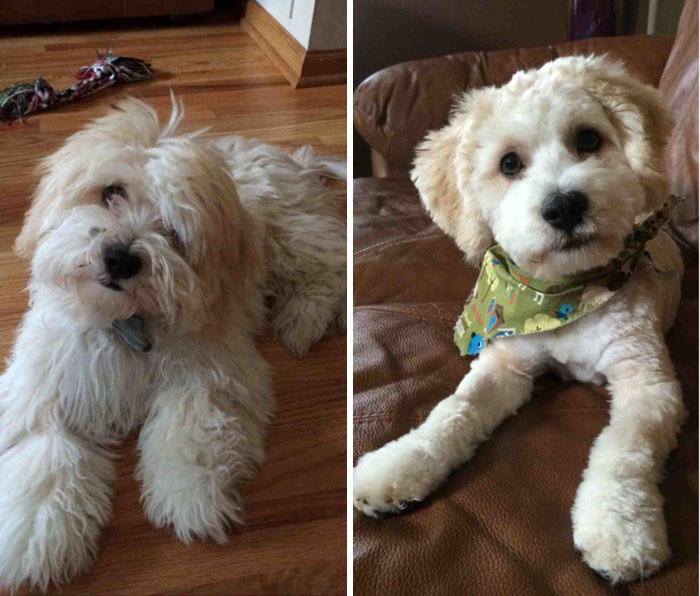 foto antes y después peluquería de perros 11