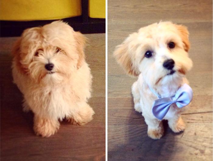 foto antes y después peluquería de perros 12
