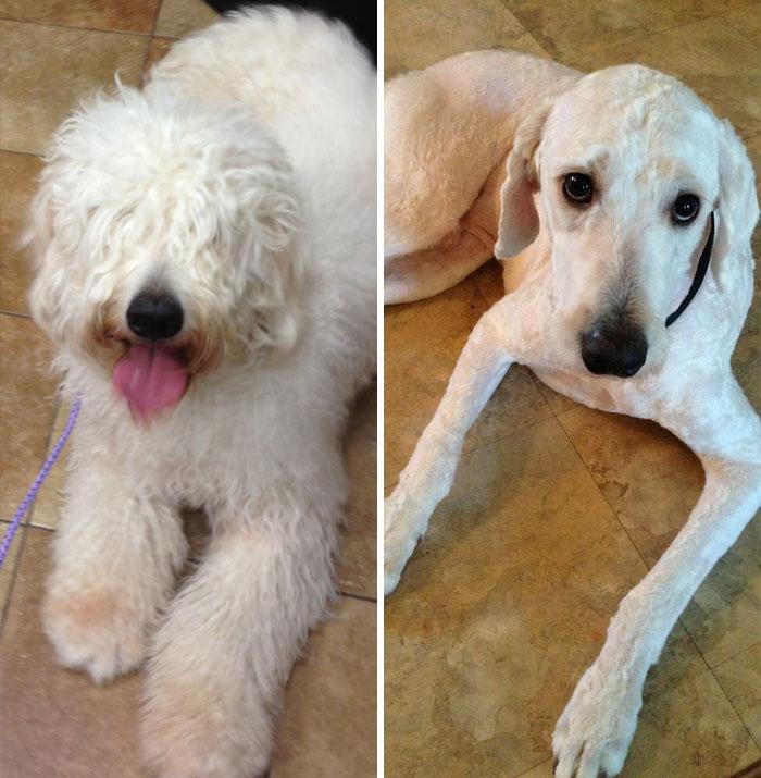 foto antes y después peluquería de perros 13