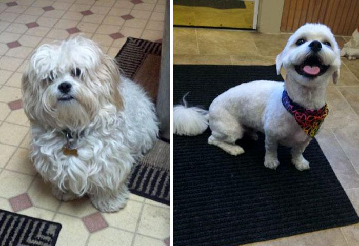 foto antes y después peluquería de perros 18