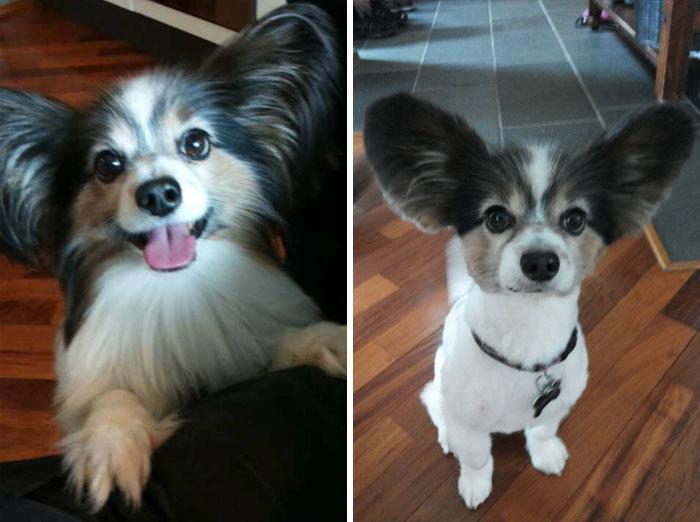 foto antes y después peluquería de perros 19