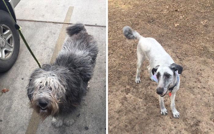 foto antes y después peluquería de perros 21