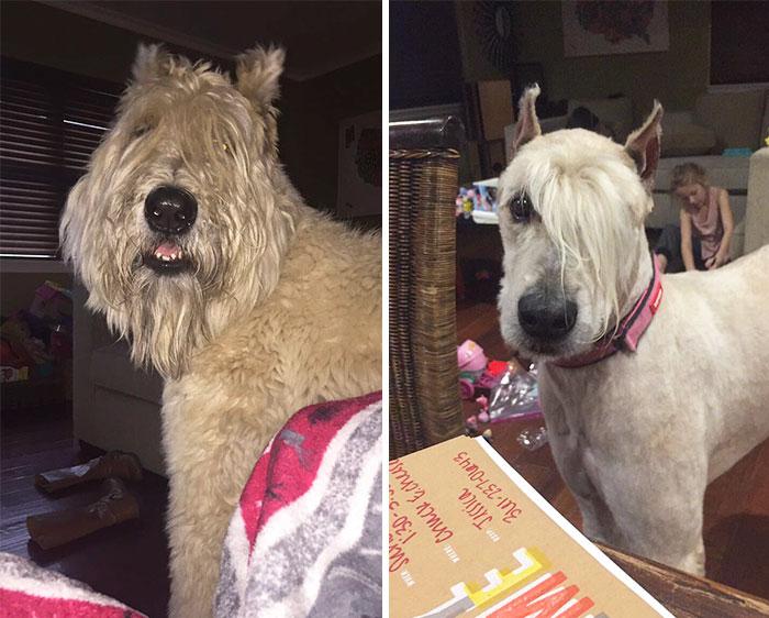 foto antes y después peluquería de perros 24