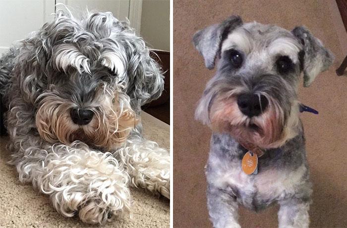 foto antes y después peluquería de perros 25