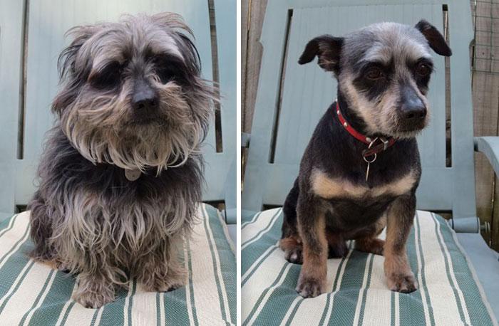 foto antes y después peluquería de perros 3