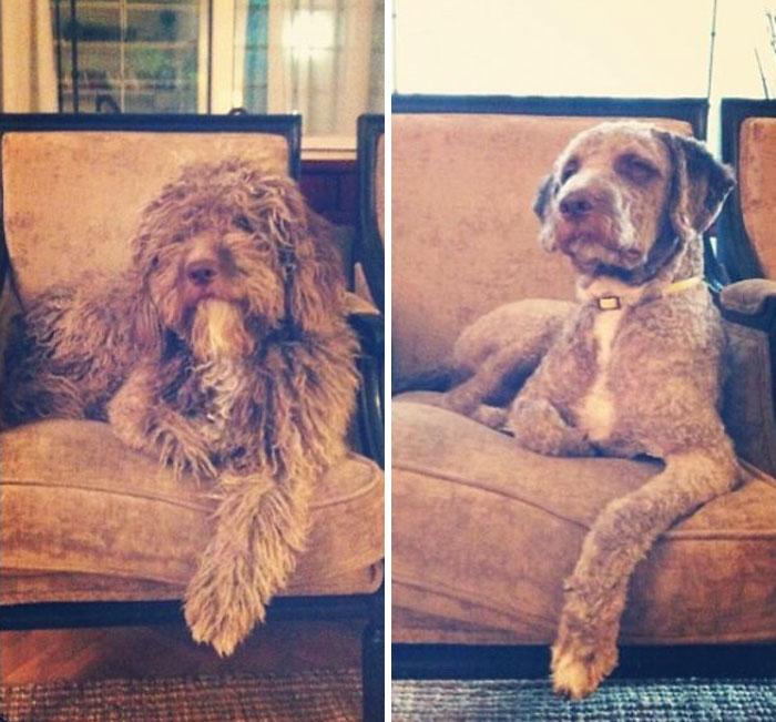 foto antes y después peluquería de perros 6