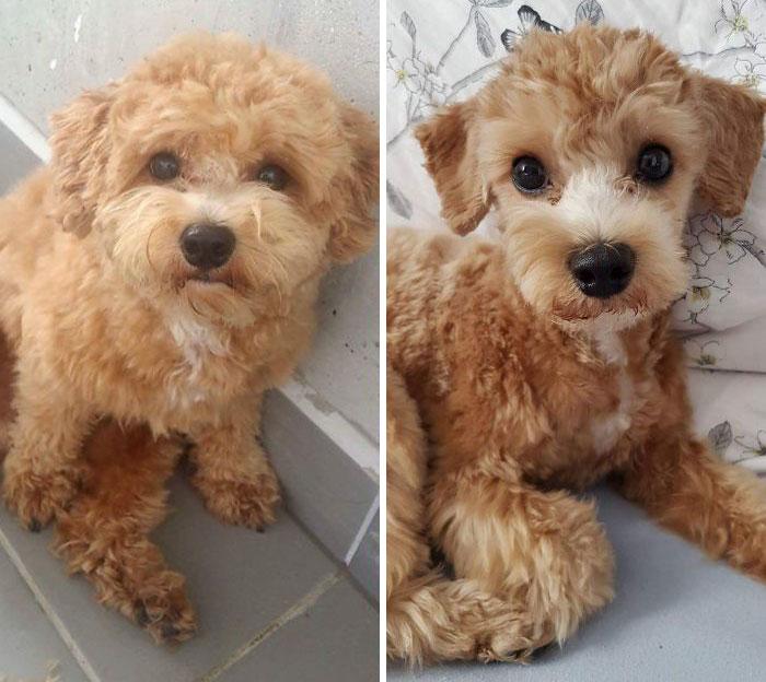 foto antes y después peluquería de perros 7
