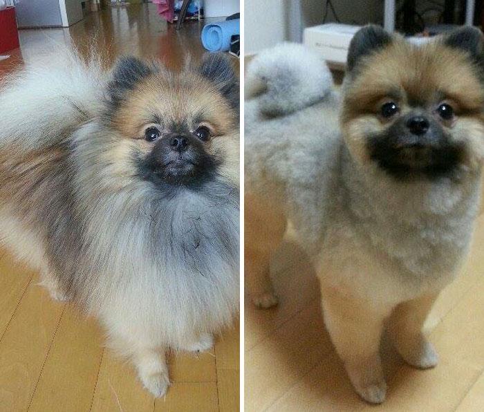 foto antes y después peluquería de perros 9